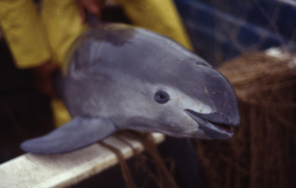 Vaquita killed in a totoaba gillnet in February 1992. Photo by Christian Faesi.