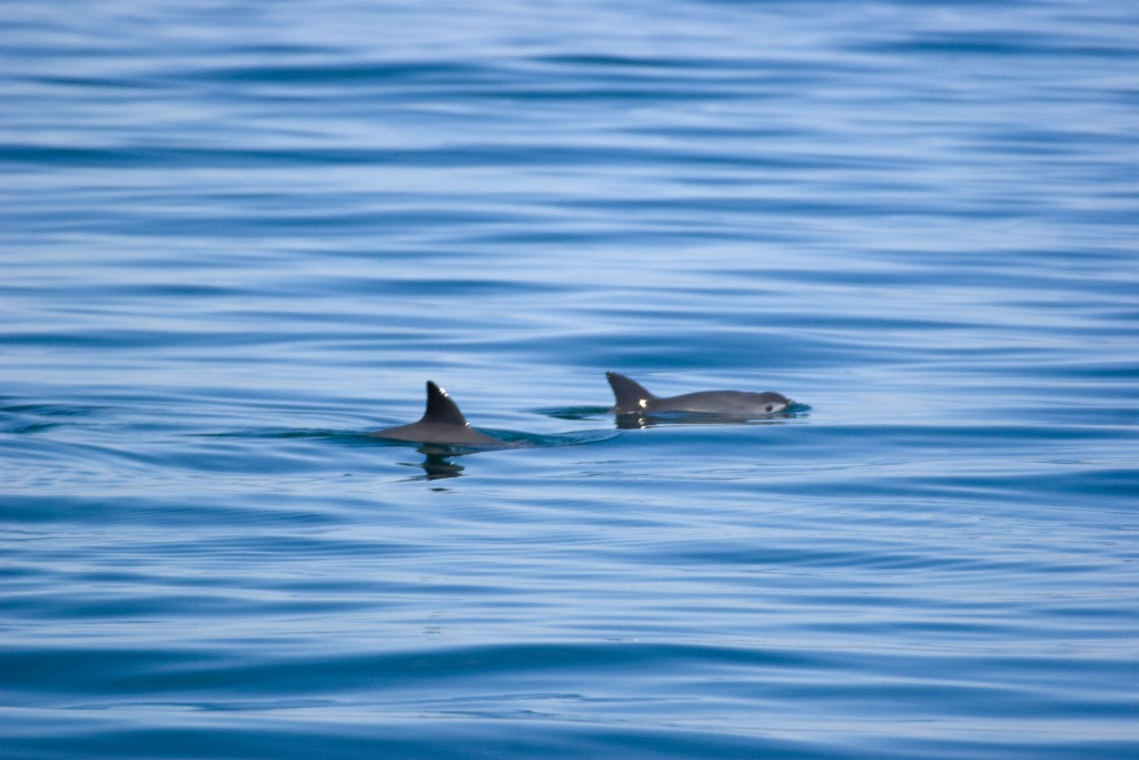 Rare image of a vaquita in the wild, captured in 2008 by Chris Johnson.
